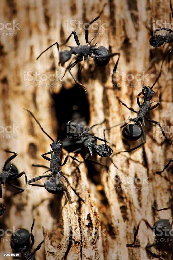 Black Ants royalty-free stock photo