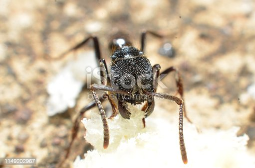 istock Black ants, with two antennas on the head, and two claws in the mouth