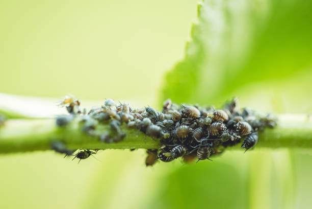 Black Aphids on Elder Leaf Stem Colony of small black aphids on an elder leaf stem. Macro close up shot. aphid stock pictures, royalty-free photos & images