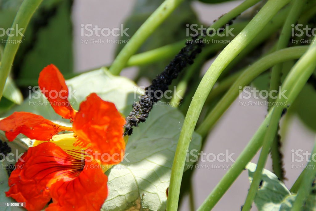Black aphids on nasturtium plant close up stock photo