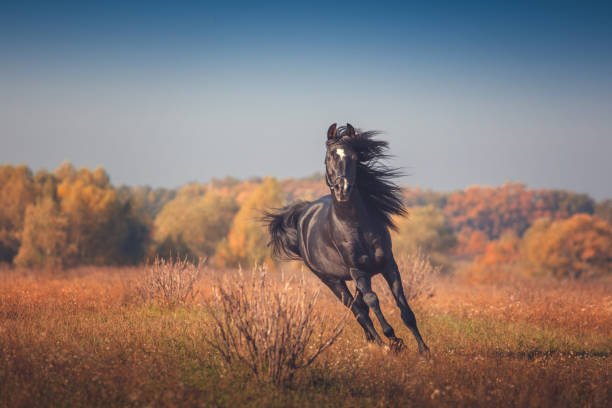 Black Arabian horse runs on the trees and sky background in autumn Black Arabian horse runs forward on the trees and sky background in autumn arabian horse stock pictures, royalty-free photos & images