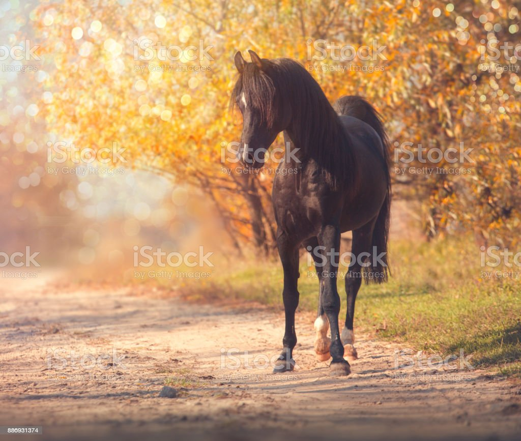 Black Arabian horse stands on the road on trees and sky background in autumn stock photo