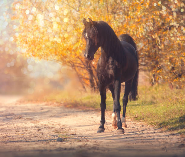 Black Arabian horse stands on the road on trees and sky background in autumn Black Arabian horse stands on the road on trees and sky background in autumn arabian horse stock pictures, royalty-free photos & images