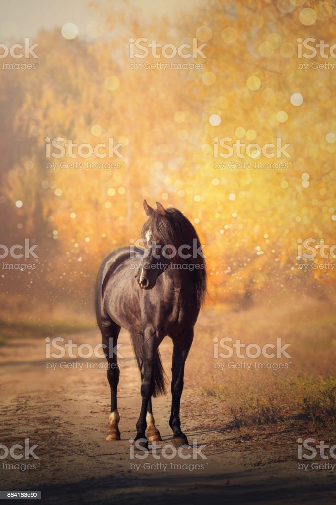 Black Arabian horse stands on the road on yellow trees background in autumn stock photo