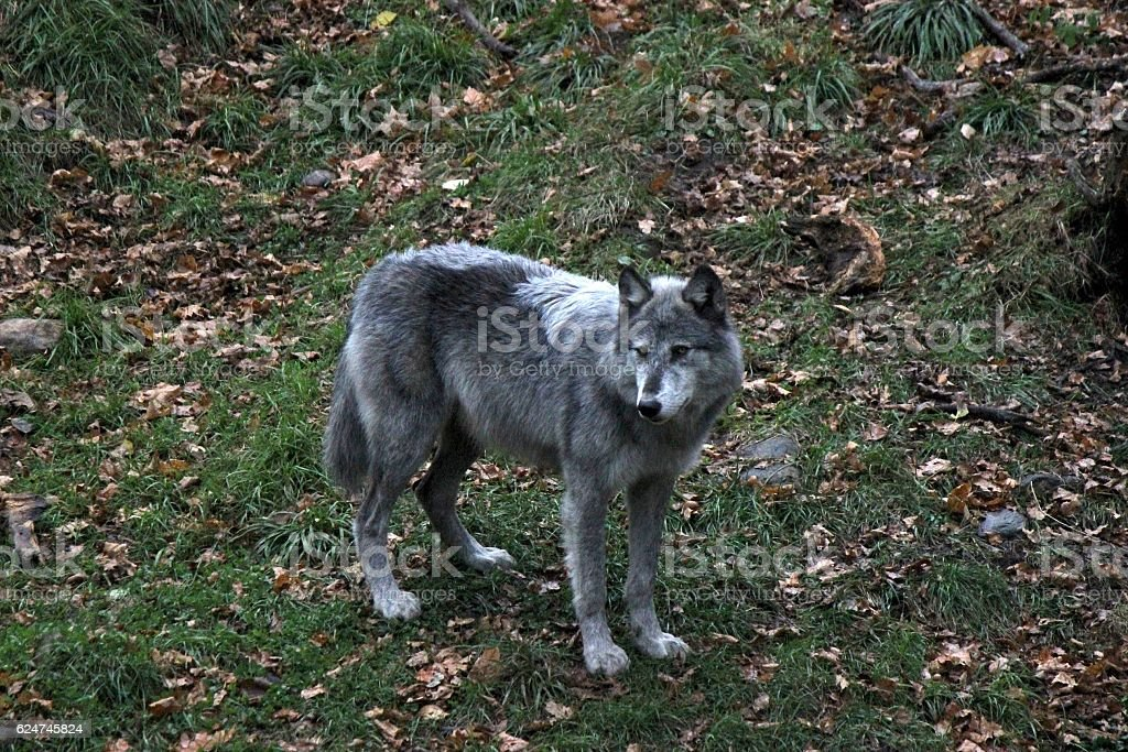 Black Arctic Wolf With Silver Markings Stock Photo & More Pictures ...