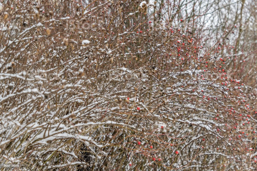 black ash and red viburnum cowered with snow in the garden