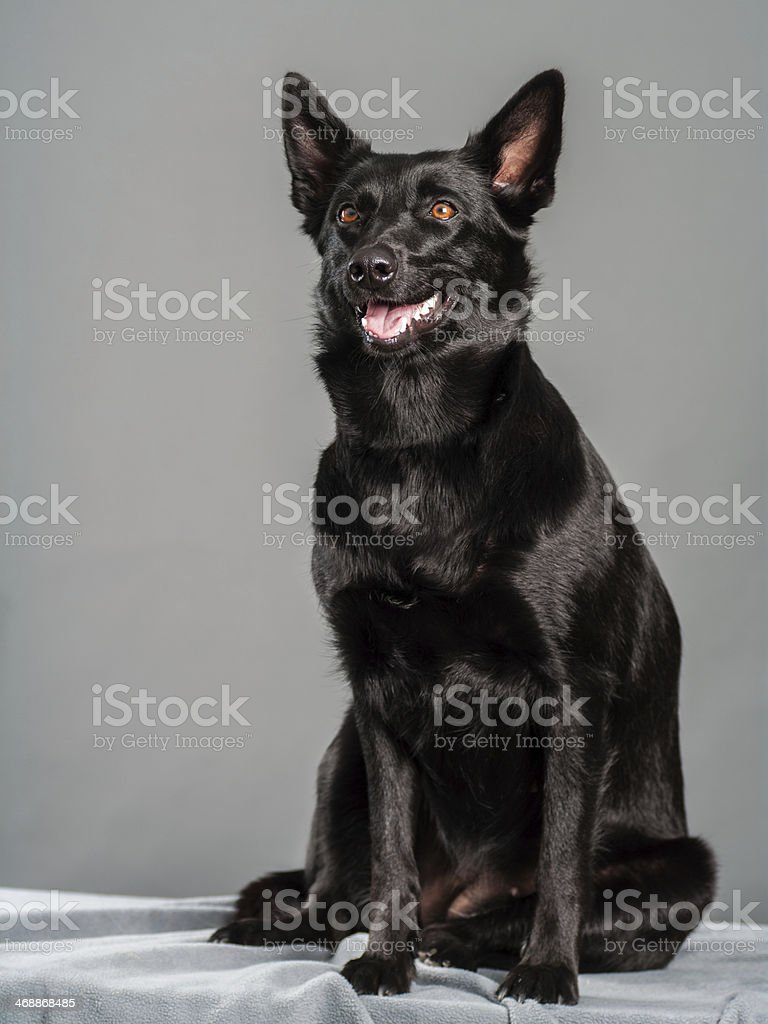 black Australian sheep dog in studio stock photo