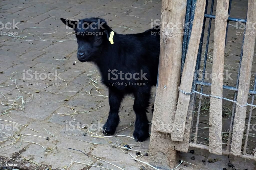 Black baby goat standing and hiding behind a fence stock photo