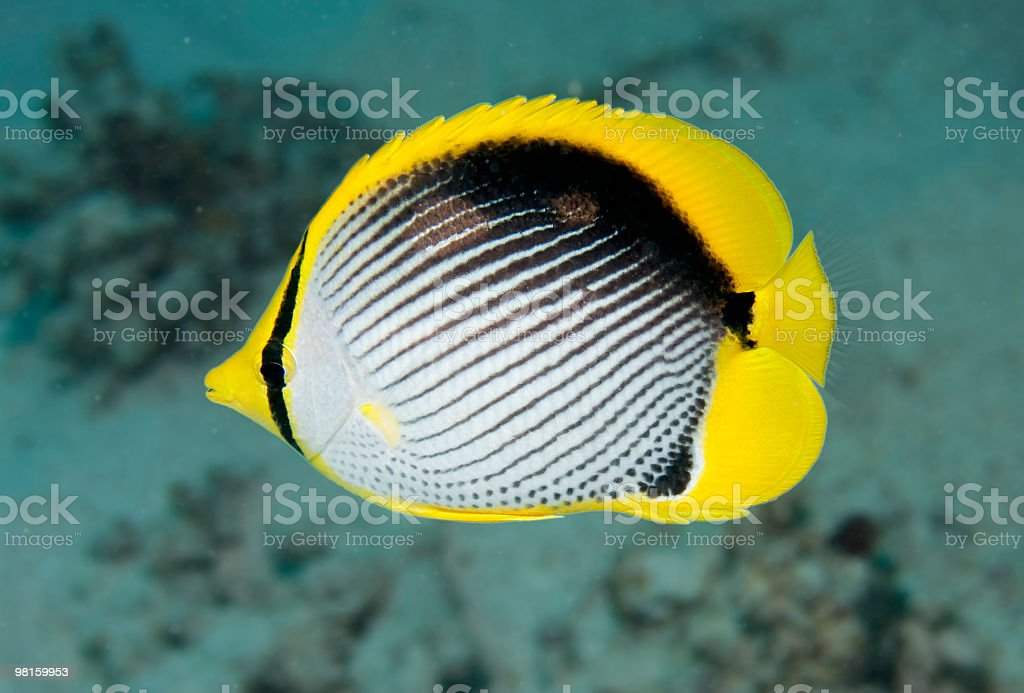 Black backed butterfly fish royalty-free stock photo