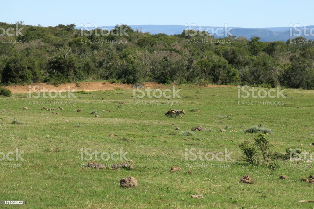 A black backed jackal - Canis mesomelas - in this side on landscape stock photo