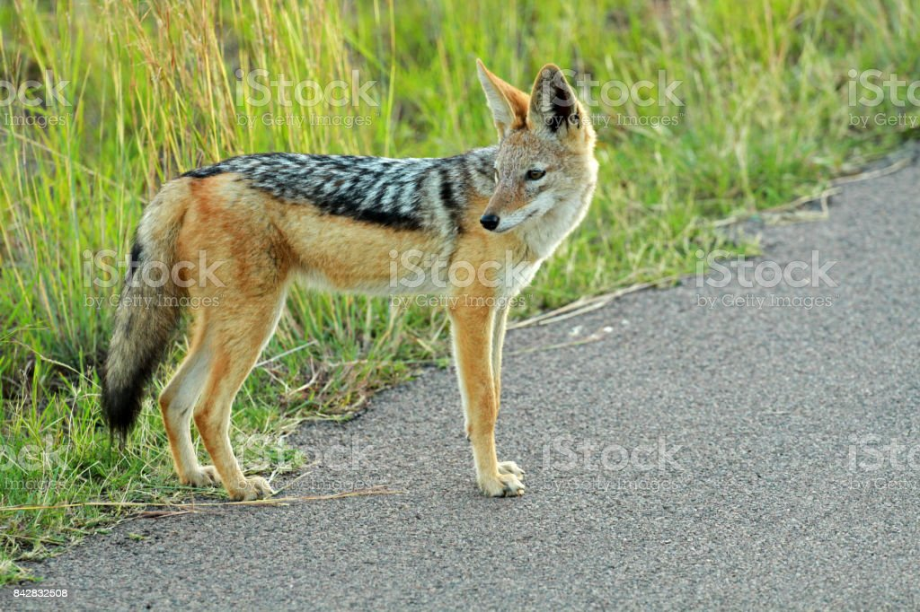 Black Backed Jackal Stock Photo More Pictures Of Africa Istock