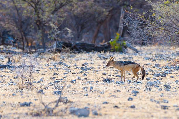 black backed jackal walking in the bush, africa - ein topf wunder stock-fotos und bilder
