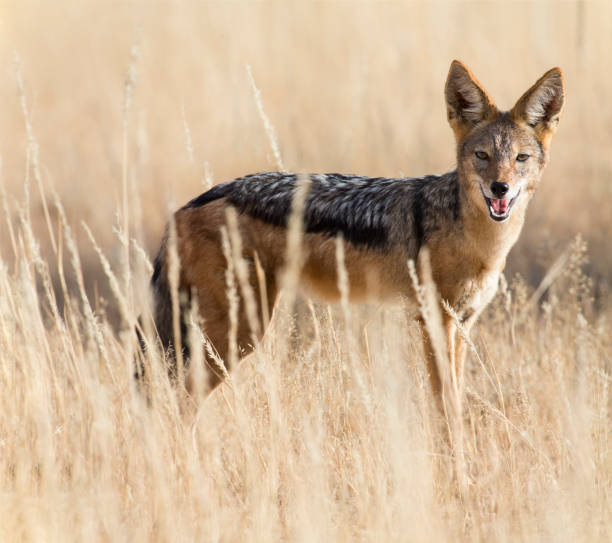 Black backed jackal walking in the kalahari looking for some food picture id891569588?b=1&k=6&m=891569588&s=612x612&w=0&h=sqmlvxqtwhmthtokgt16398jzriy5j0y3uvhin0szjw=