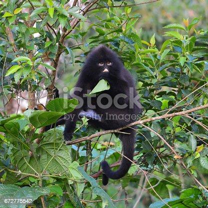 Black Bande langur (Presbytis femoralis) eating green leaf on the tree in at Kaeng Krachan National Park, Thailand.