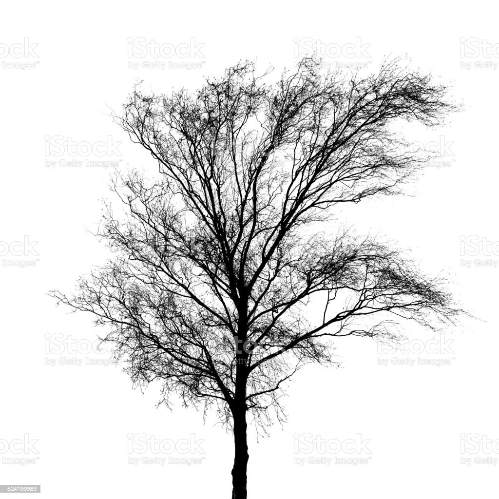 Black bare tree photo silhouette isolated on white stock photo