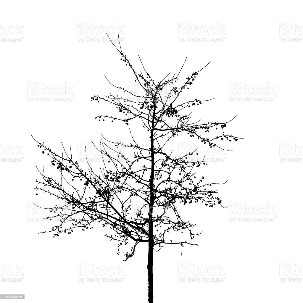 black bare wild apple tree photo silhouette on white royalty free stock photo