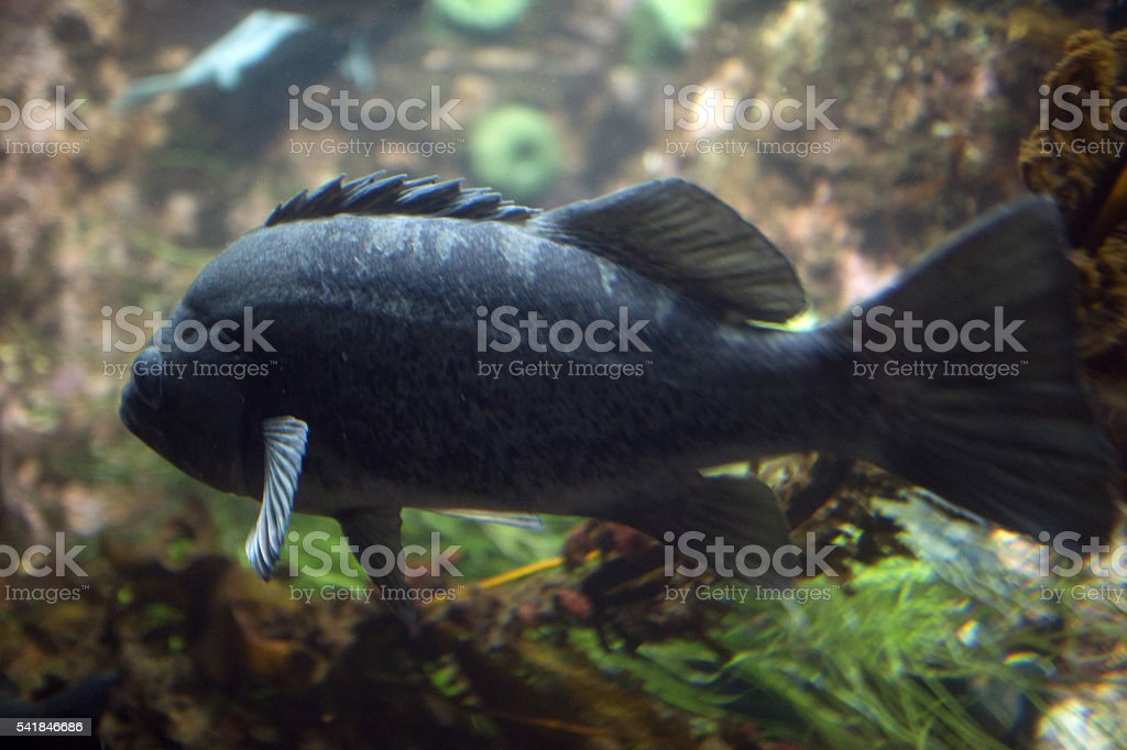black bass stock photo