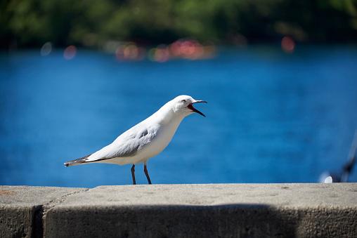 Black Beak Seagull