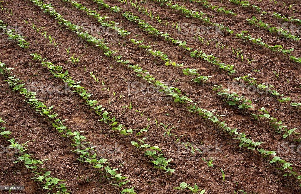 Black beans plant royalty-free stock photo