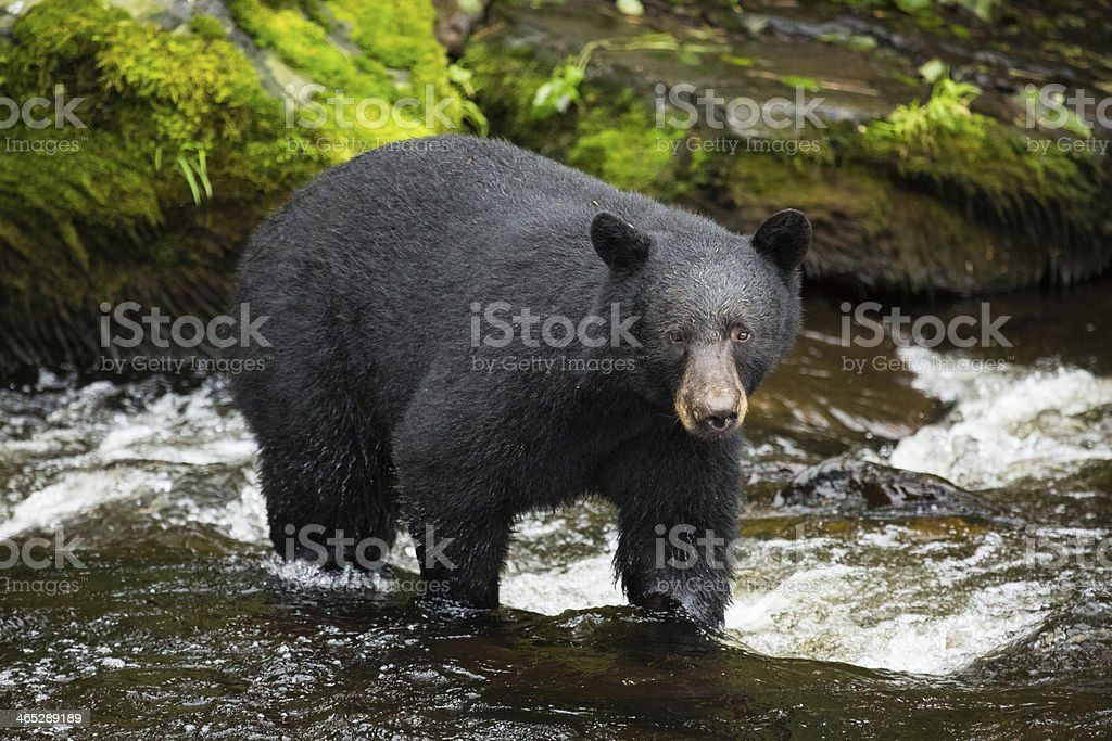Black Bear, Alaska stock photo