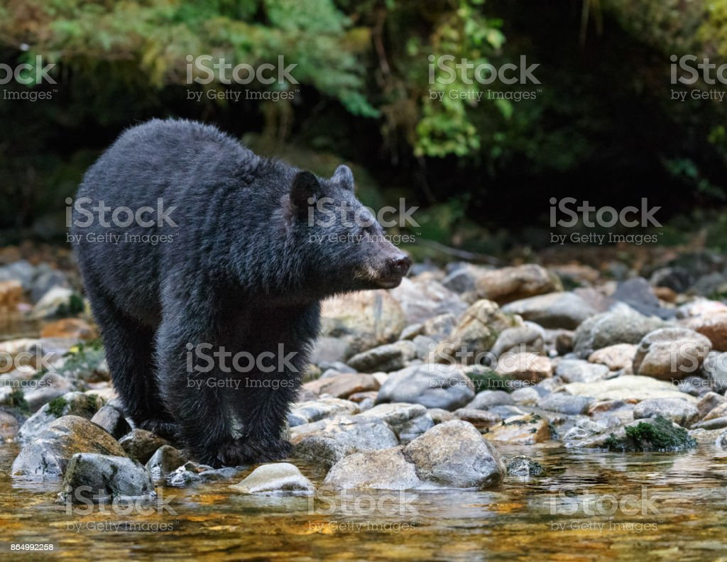 Black Bear Along A Stream in Canada's Great Bear Rainforest stock photo