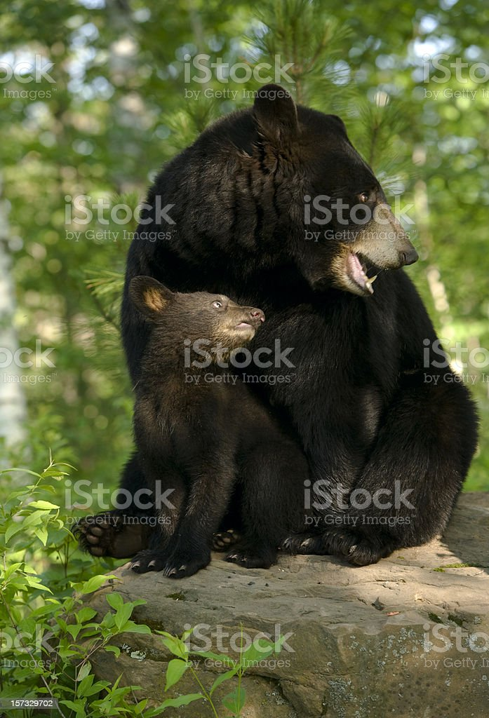 Black bear and cub in spring woods. stock photo