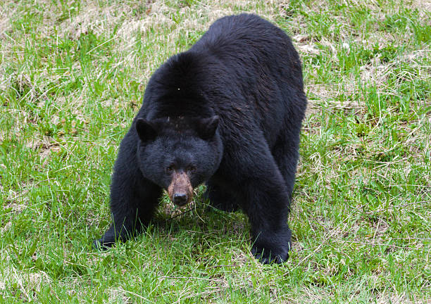 black bear-mode d'attaque - attaquant photos et images de collection
