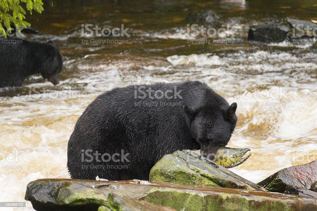 Black Bear Catches Salmon in Alaska royalty-free stock photo