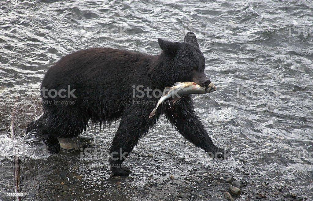 Black bear catching fish stock photo
