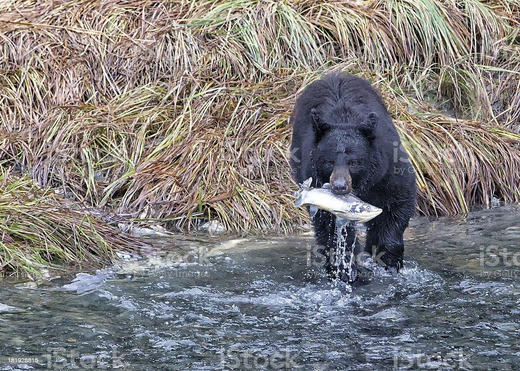 Black bear catching salmon royalty-free stock photo