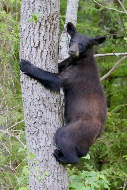 Black Bear Climbing stock photo