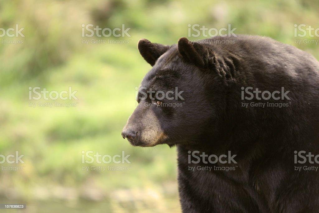 Black Bear Close-up (shallow depth of field) stock photo