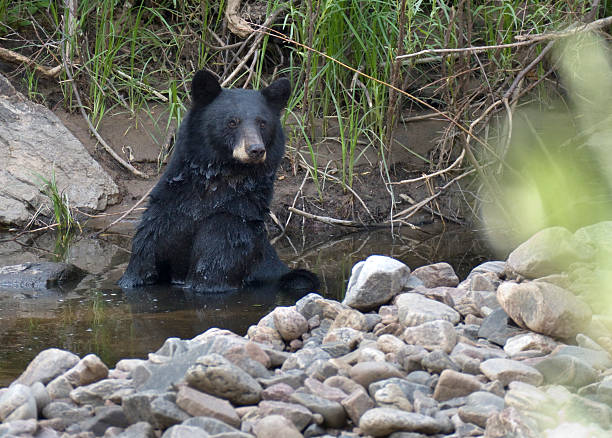 A female black bear enjoys sitting and scratching in the cool waters of the South Platte River in Waterton Canyon on a hot August day after grazing on acorns in scrub oak trees with her two cubs nearby, fattening up for the winter months in Littleton, Colorado