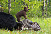 A playful, American black bear cub climbing on a wood pile.  Springtime in Wisconsin