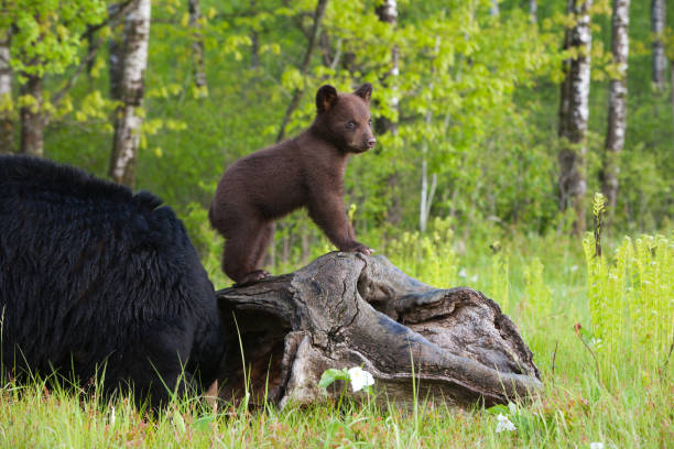 black bear cub et mère. - ourson photos et images de collection