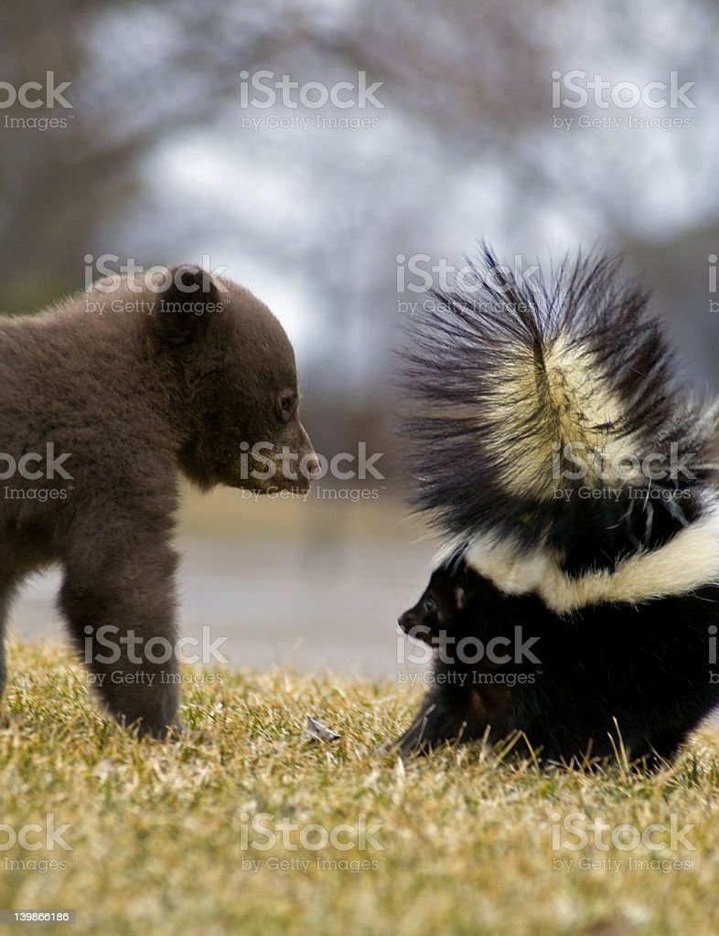 Black Bear Cub and Striped Skunk Motion blur stock photo