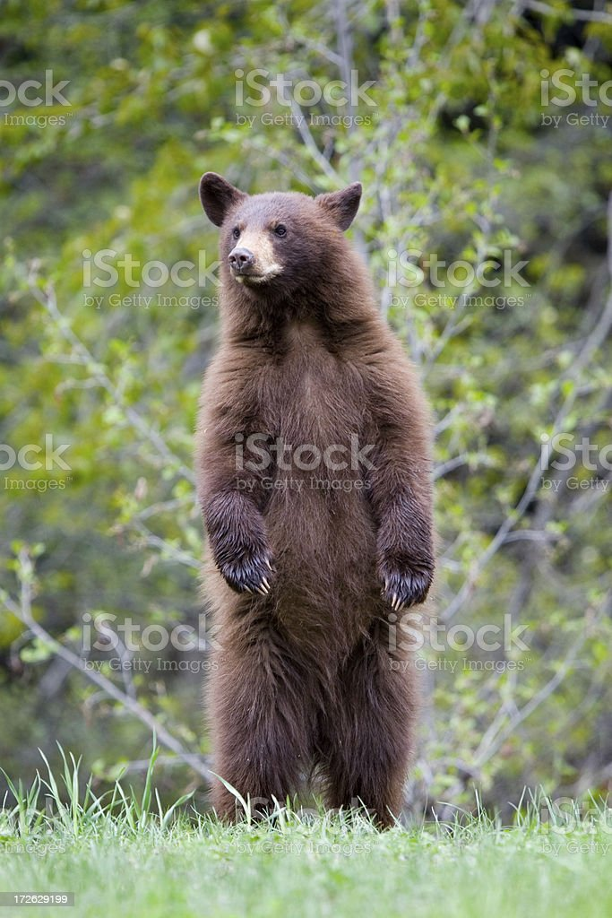 Black Bear  Cub - Cinnamon color stock photo