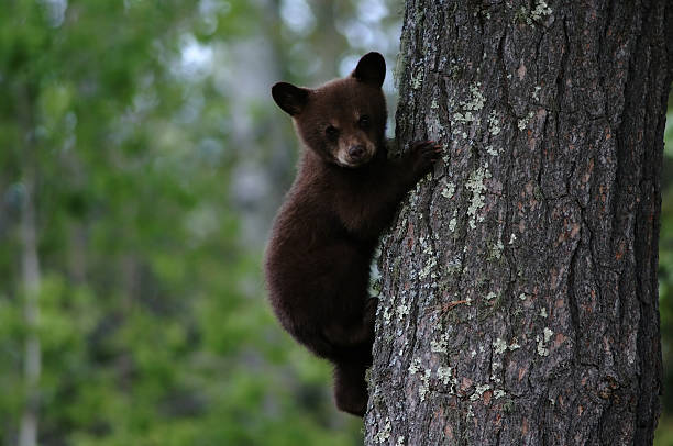 black bear cub - ourson photos et images de collection