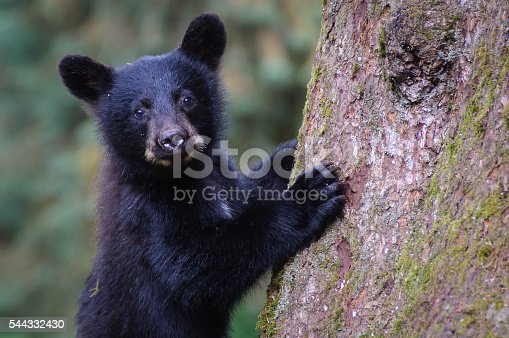 istock Black Bear Cub Close Up Looking at Camera Climbing Tree 544332430