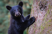 Black Bear Cub Close Up Looking at Camera Climbing Tree