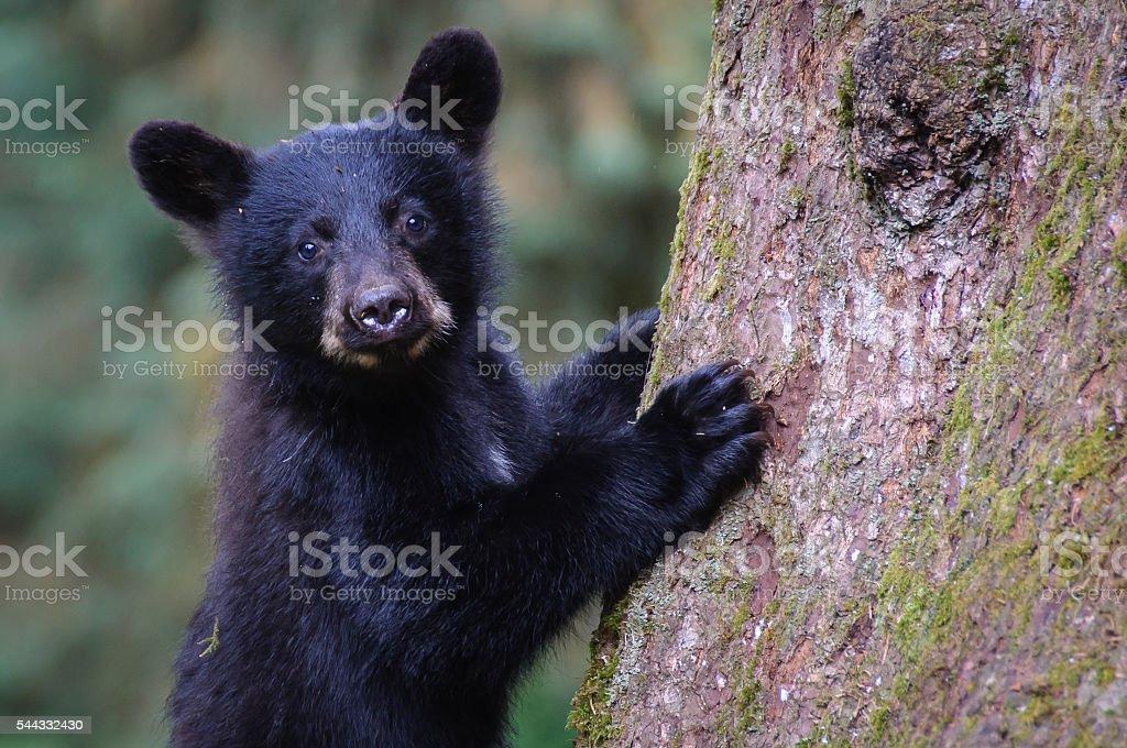 Black Bear Cub Close Up Looking at Camera Climbing Tree stock photo