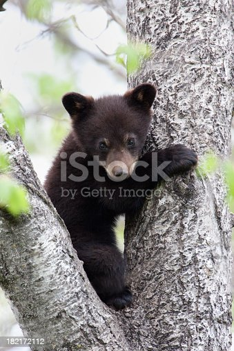 black bear cub in the wild