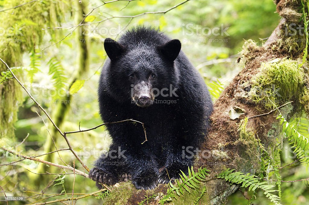 Black Bear Cub in the Rain Forest, Canada stock photo