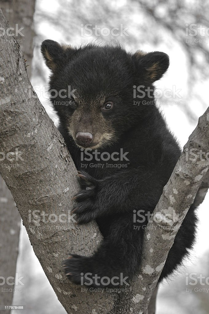 Black Bear (Ursus americanus) Cub in Tree stock photo