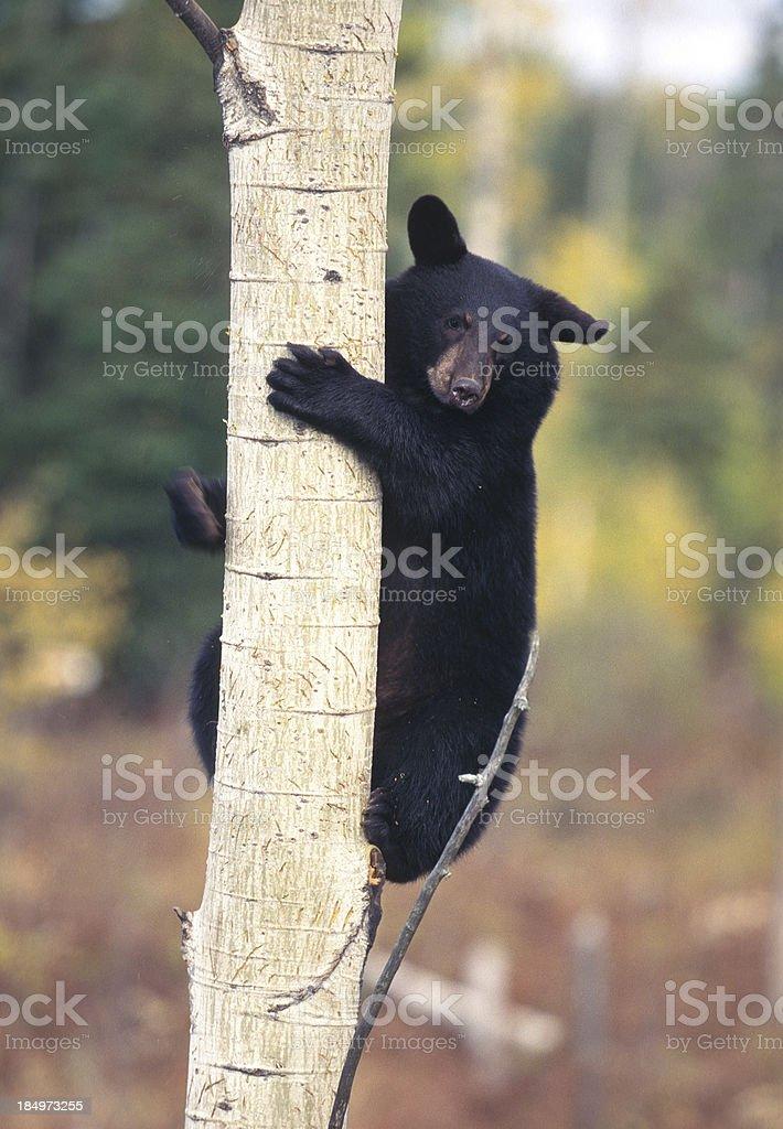 Black Bear Cub in Tree stock photo