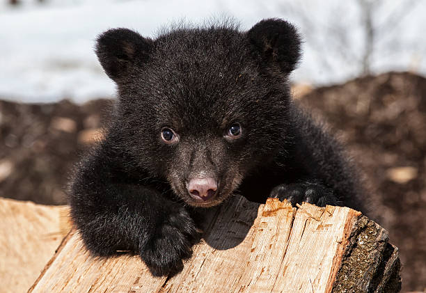 Black bear cub A playful, American black bear cub climbing on a wood pile.  Springtime in Wisconsin cub stock pictures, royalty-free photos & images