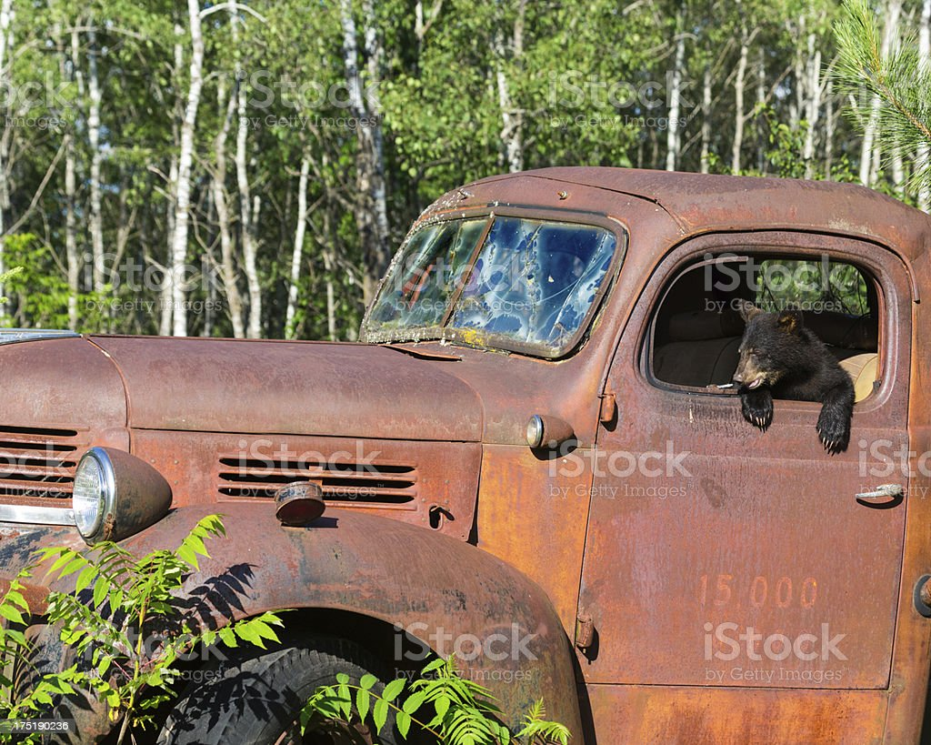 Black Bear Cub Playing in Old Truck stock photo