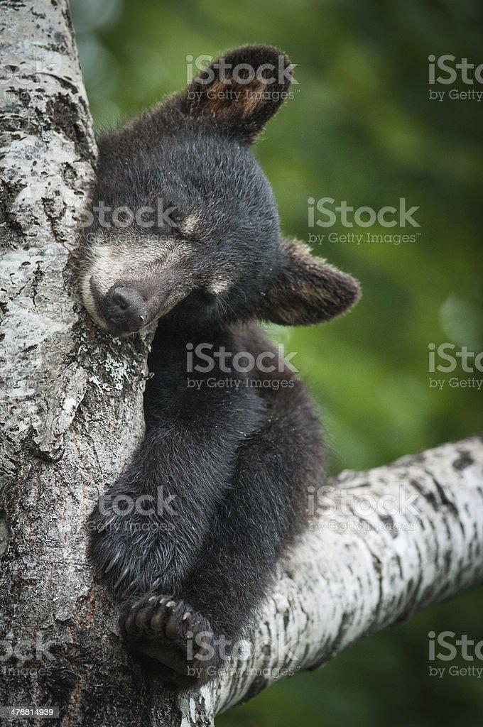 Black bear cub sleeping in a tree stock photo
