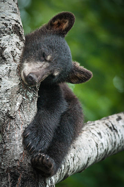 black bear cub dormir dans un arbre - ourson photos et images de collection