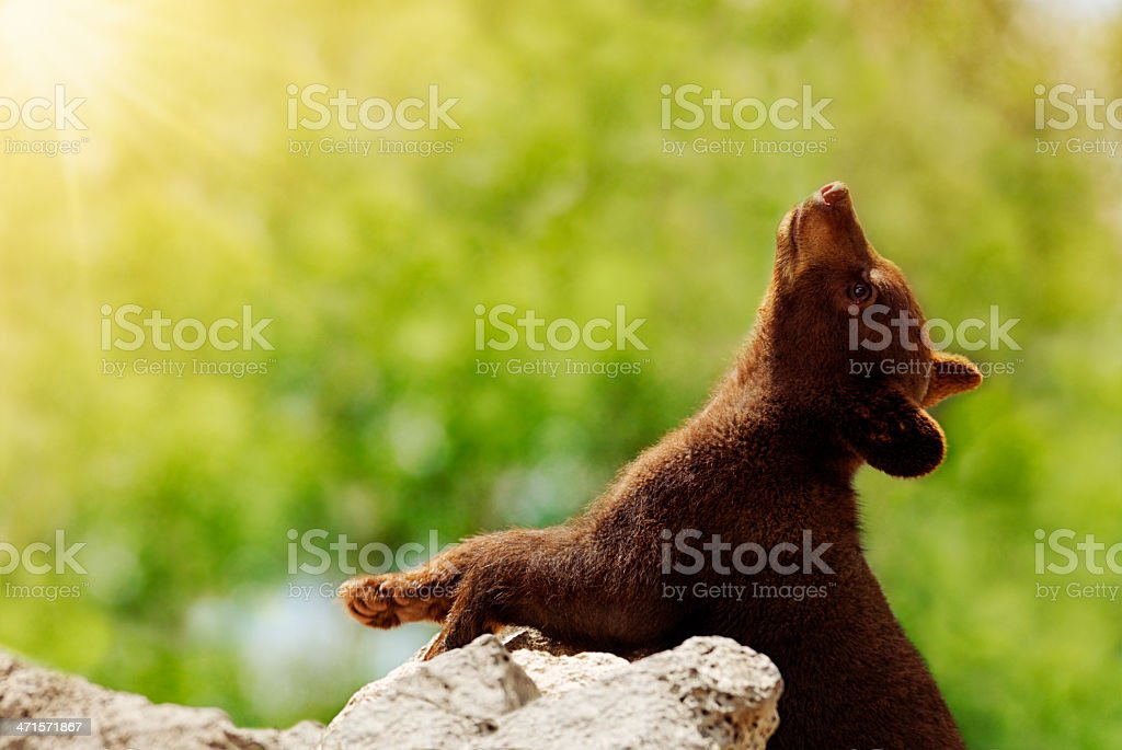 Black Bear Cub Soaking Up The First Rays of Summer stock photo